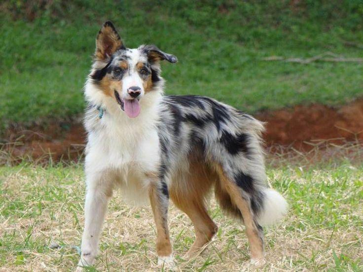 Blue Merle Dog Names