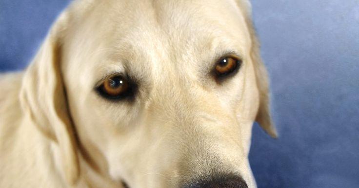 """Traços do cruzamento de um cão pastor branco com um labrador. O cruzamento entre raças diferentes levou a novas """"raças"""" de cães. A mistura de um pastor branco e um labrador é referido em alguns círculos nos Estados Unidos como um """"sheprador"""" e em outros como um """"labrashepherd"""". Os traços físicos e de caráter destes cães podem se assemelhar a um dos pais mais do que o outro, e os cães da segunda e terceira ..."""