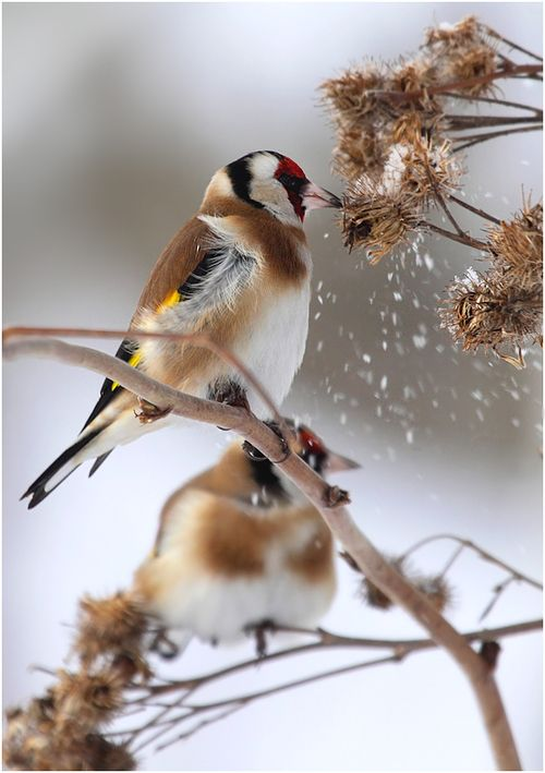 Some people cut back alllll their summer gardens in preparation for winter. It would be a good idea to not cut back on everything, though, as birds can feed on the seed pods that develop in the fall. <3