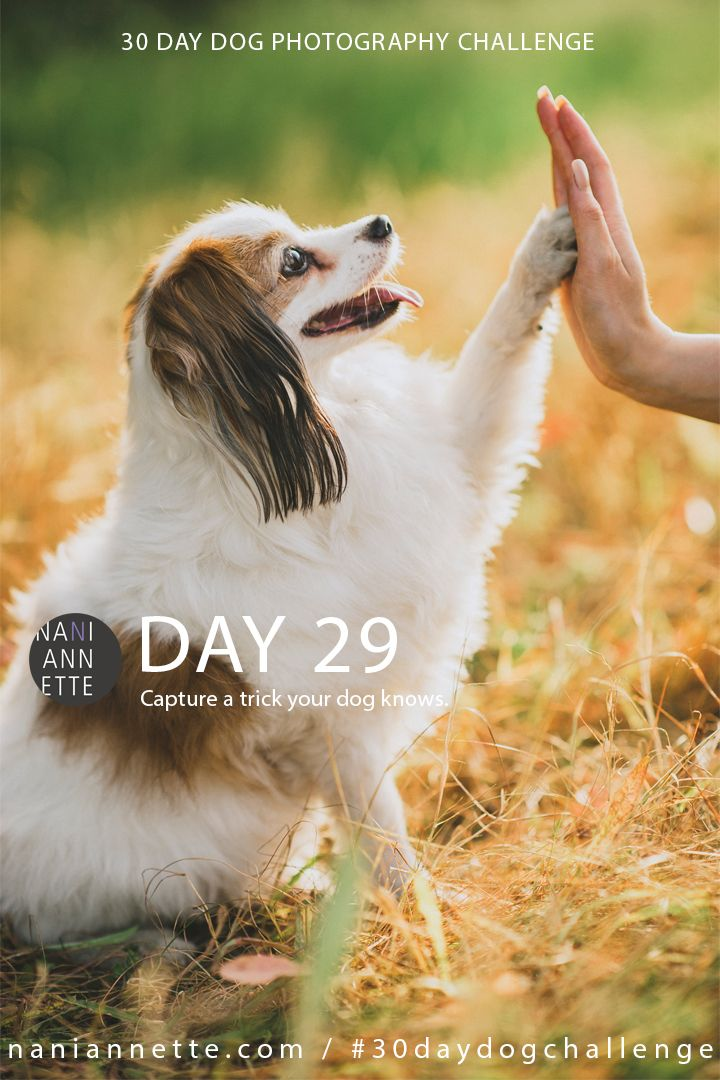 Day 29 of 30 Day Dog Photography Challenge  Capture a trick your dog knows.  Share your image in Instagram using #30daydogchallenge.