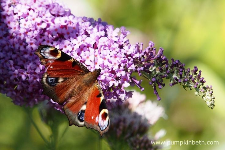 Here a Peacock butterfly, which is also known by its scientific name of Aglais io, is feeding on Buddleja davidii.