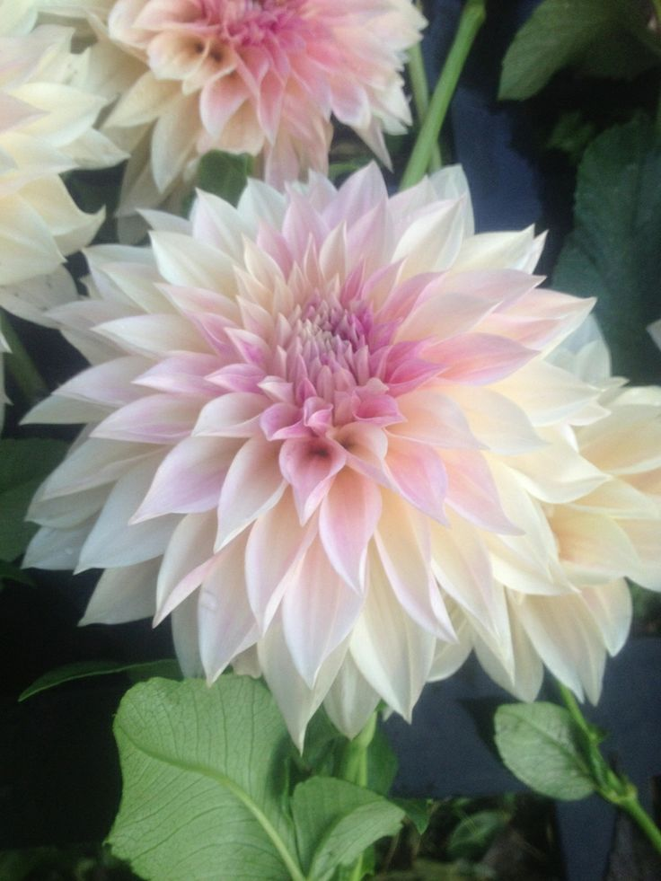 This is a pretty Dahlia, but what color is this? Is this sprayed? Could be nice if we go towards a more pink theme.