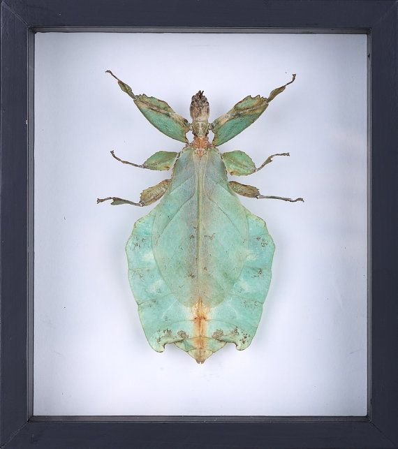 the giant walking leaf insect phyllium giganteum by wwwbugsdirectcom framed insects