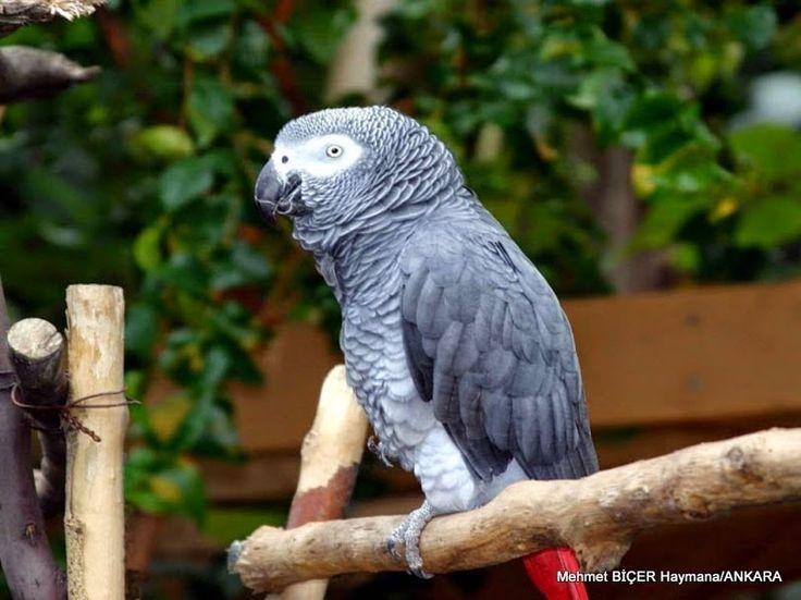Afrika Gri Papağanı