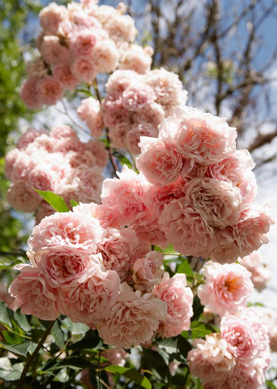 'Felicia' (1928) Hybrid Musk Rose - what my Papa would describe as 'frilly knickers' <3