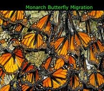r Monarch Butterfly Migration