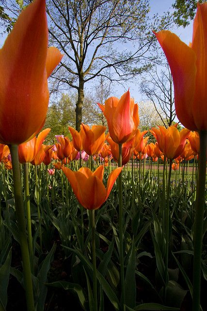 Tulips, Keukenhof Gardens, Lisse, Netherlands  www.perugiaflowershow.com