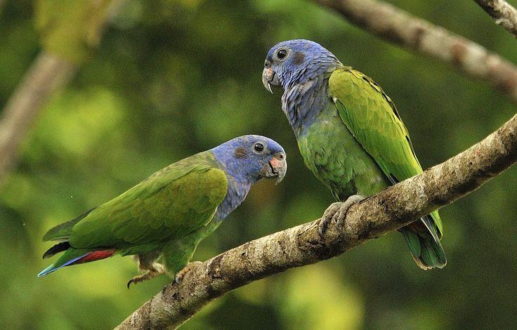 Blue-headed Parrots.