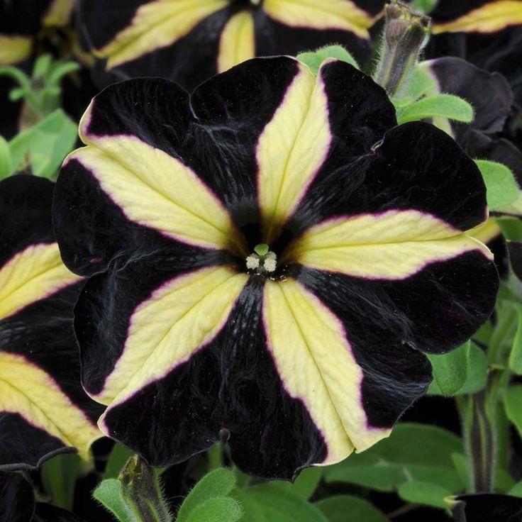 Я обожаю черные цветы. Обсуждение на LiveInternet - Российский Сервис Онлайн-Дневников