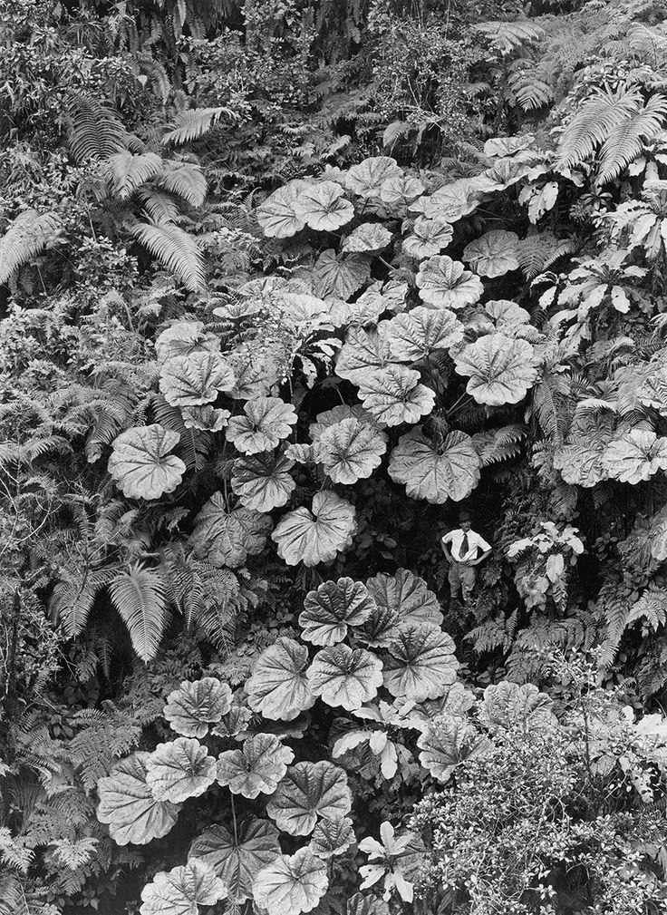 natgeofound:  A man stands dwarfed under the Ape-Ape leaves of Puohokamoa Gulch in Maui, Hawaii, 1924. Photograph by Gilbert H. Grosvenor, National Geographic Creative