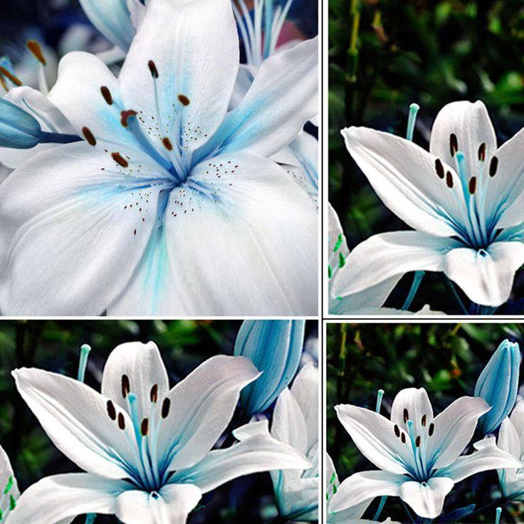 50pcs Lots Oriental Lily Blue Stargazer Scented Flower Bulbs Seeds Garden Plants