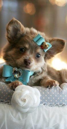 RARE LAVENDER LONG HAIR CHIHUAHUA -- BLUE EYES #dogs #animal #chihuahua
