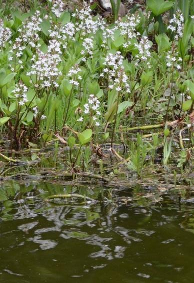Menyanthes trifoliata Waterdrieblad
