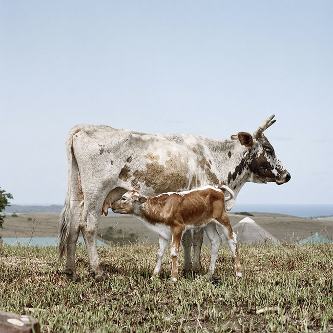 Nguni cow with suckling calf. Kei River Mouth, Eastern Cape, 19 October 2009  #southafrica #photography #art