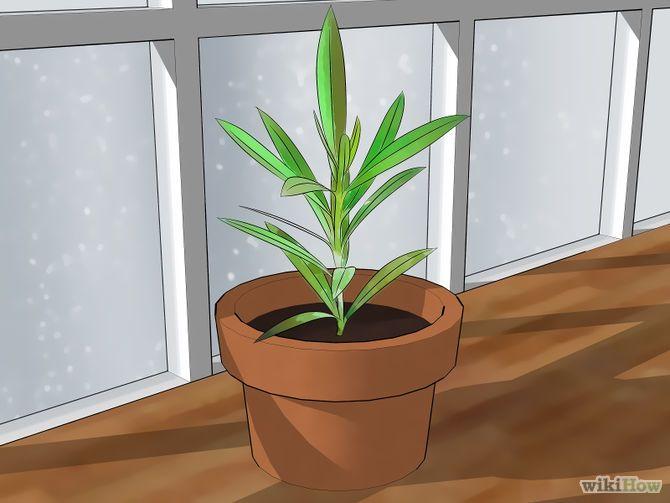 como cultivar oleandro