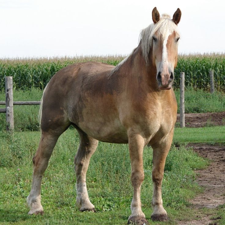 "The Belgian Draft horse, and its name suggests, originated from Belgium. It is said to be directly descended from the ""Great Horse"" of medieval times: the large, black Flemish breeds used to carry knights in armor to battle. As with other draft breeds, the Belgian was later used primarily for agricultural and industrial purposes."