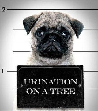 pugshot.    @Jori Nelson - you always pin the cutest animal photos - so I immediately thought of you when I saw this.  :)