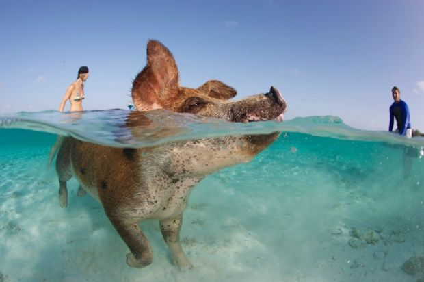 A pig swims in the crystal clear waters off the island of Big Major Spot in the Bahamas.