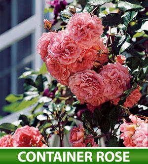 133 Best Climbers/Roses/Vines Images On Pinterest   Gardening, Flowers And  Gardens
