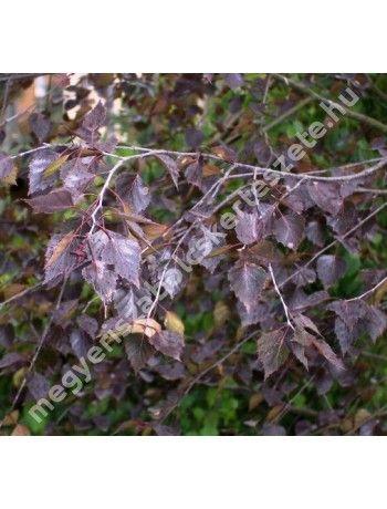 Betula pendula 'Purpurea' - Bordó levelű nyírfa