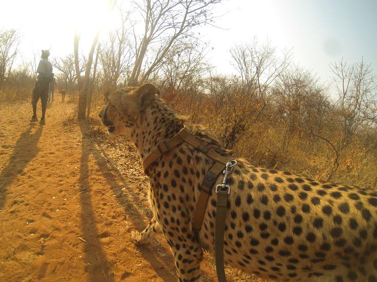 walking with cheetas - Natural Life - Livingstone Zambia - Cats
