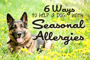 Spring is in the air! And with it, allergies... Unfortunately, humans aren't the only ones faced with seasonal allergies. In fact, seasonal allergies in dogs are really quite common. Canine allergies are...