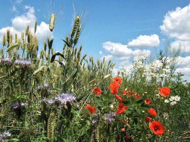 NAŠE LÁSKY: Léto mé nádherné já tě vítám...obilí i květy na ok...