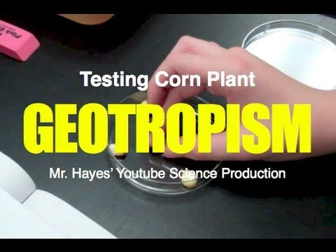Geotropism Test with Corn Plants - YouTube