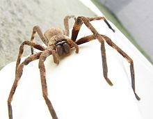 Huntsman Spider,Palystes castaneus, showing Sparassid pattern of eyes in two rows of four, with the robust build and non-clavate pedipalps of a female.