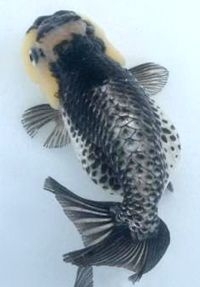 Exotic Goldfish - Lionhead Goldfish