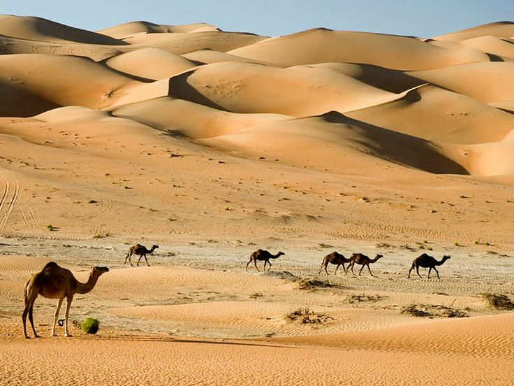 See some camels in the desert