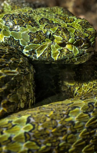Mang Mountain Pit Viper | Flickr #patterns and #textures