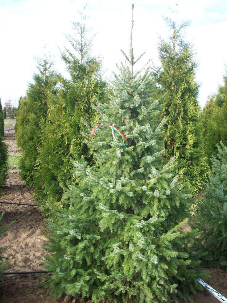 Ель Сербская - Зеленый сад