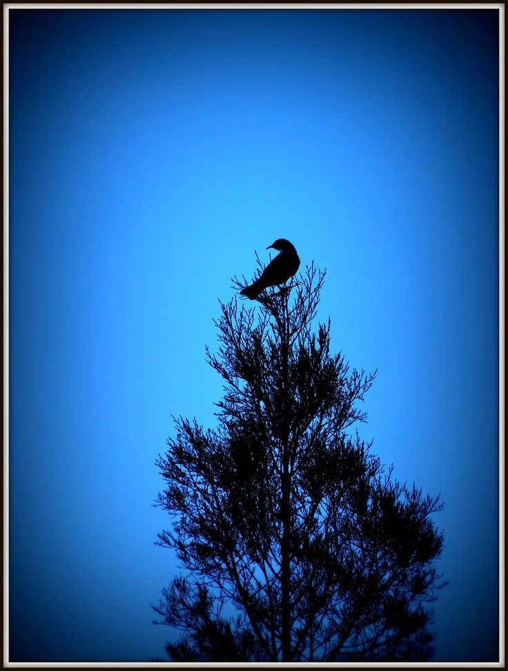 Tui at the top of a tree