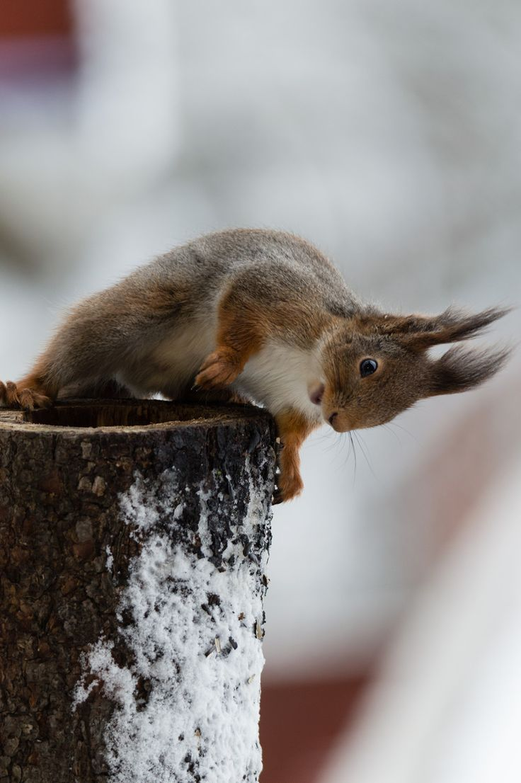 snow squirrel, me today!!! :)