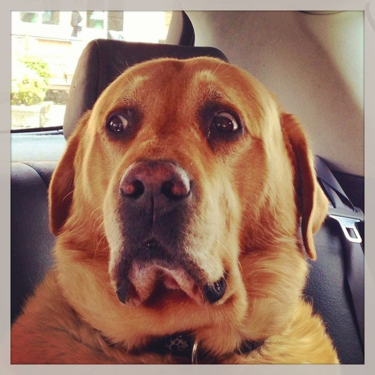 Best Dog Food For Labs >> 129 best Canines images on Pinterest | Doggies, Car seats ...
