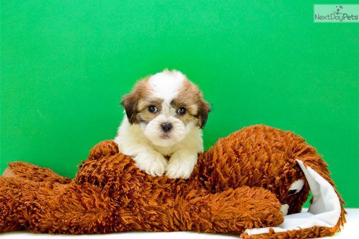 Shichon puppy for sale near Columbus, Ohio | 4e18dcd4-a521