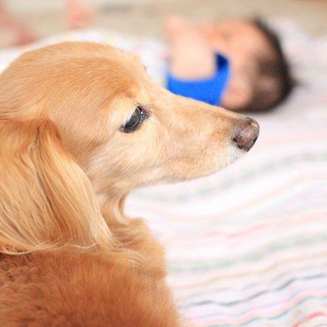 """🐾2017.6.24🐾 昨日のこと。 主人はお家でのんびりと。私は、子どもたちを連れて、実家へ遊びに行きました♪ 愛犬""""あとり"""" 私と父が洗車、娘はばーばと外で遊んでいる間、息子をみていてくれたあとり。 少し離れたところから、優しい眼差しで、息子をみていてくれました♡  13歳のあとり。 病気をせず、元気なおばぁちゃん犬ということで、表彰されることになったみたい(*^^*)耳はほとんど聞こえていないけど、まだまだ元気でいてほしいな✴︎ #愛犬#あとり#元気な#おばあちゃん犬  #息子を#優しい#眼差しで#みていてくれたよ#元気なわんちゃん#として#表彰されます #実家にて#のんびりと #雨とわかっていながら#洗車 #なんだか#さっぱりしたよ #娘#ばーばと#外遊び #eoskissx7 #写真好きな人と繋がりたい  #whim_fluffy #kids_coffret #kids_japan  #baby365#ベビリトル#コドモノ #ママリ#ママchan"""