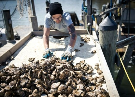 Tiny bits of plastic threaten oyster survival - Tiny bits of plastic that pollute the world's waters may also interfere with oysters' ability to reproduce and thrive, according to a study Monday by researchers in France and Belgium.