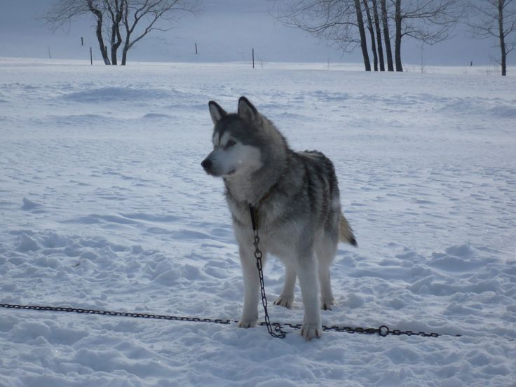 ...Husky im Schnee...