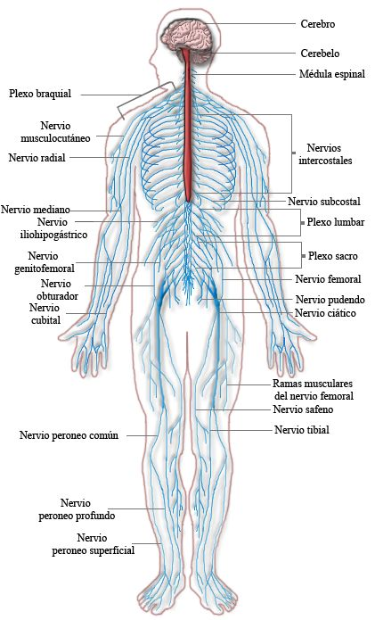 The Nervous and Endocrine Systems. Information on how the CNS (Central Nervous System),how the PNS (Peripheral Nervous System) is related to it. The PNS can be further divided into two different systems:Somatic Nervous System and the Autonomic Nervous System