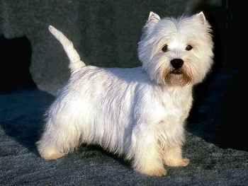 Características del Perro West Highland White Terrier http://www.mascotadomestica.com/razas-perros/caracteristicas-del-perro-west-highland-white-terrier.html