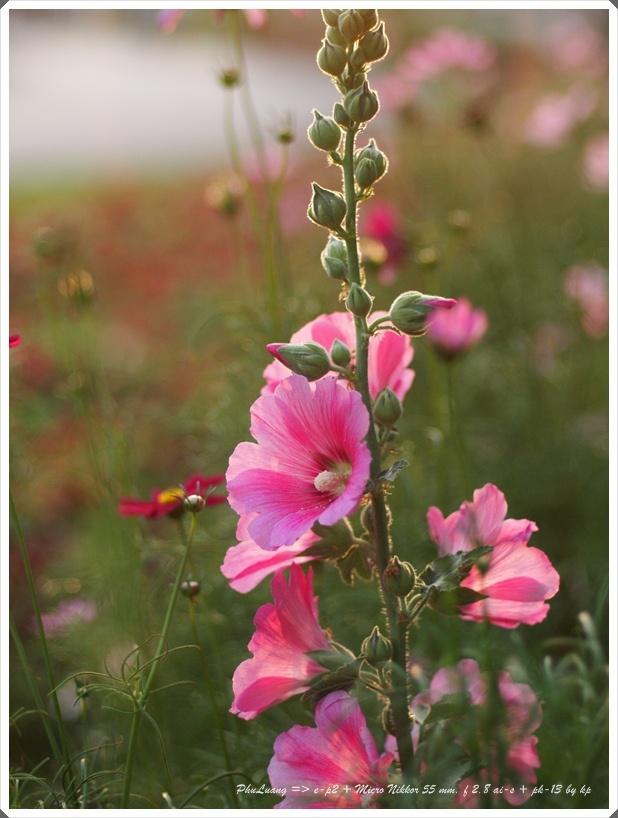 Flower by Olympus e-p2Holly Hocking, Remember Hollyhocks, Plays Time, Host Plants, Olympus E P2, Hollyhocks Dolls