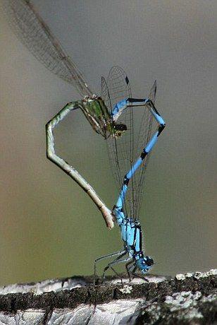 DragonfliesButterflies, Bugs, Damselfly, Heart Shape, Dragonflies Tattoo, Nature Photography, Dragons Fly, Animal, Nature Heart