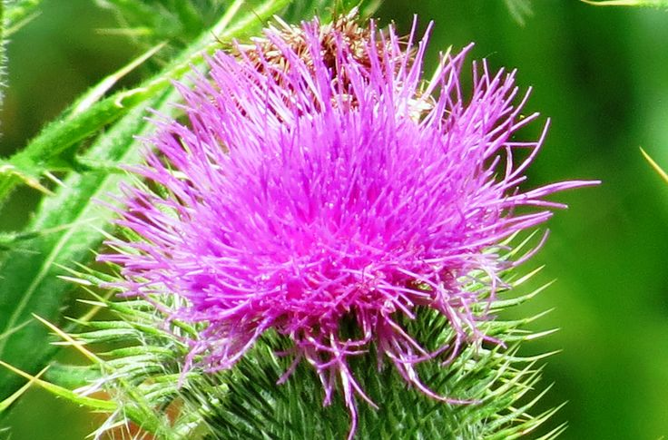 National Flower of Scotland, 'The Scottish Thistle