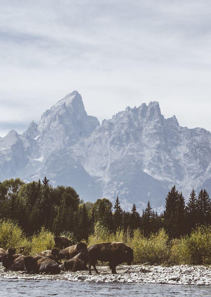 Patagonia Buffalo In Grand Teton National Park Photo Scott Cochran