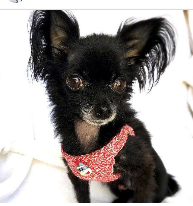 Dog Puppy Kitten Sock Monkey Harness Tiny 2 Lbs Xxxs Xxs Soft Cotton Button Option Chihuahua Yorkie Maltese Shih Tzu Toy Teacup Breed Puppy In 2020 Teacup Breeds Dogs And Puppies Kitten Socks