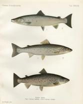 THE ATLANTIC SALMON, LAKE SALMON & TAJMEN  print (Taimen or Siberian salmon)