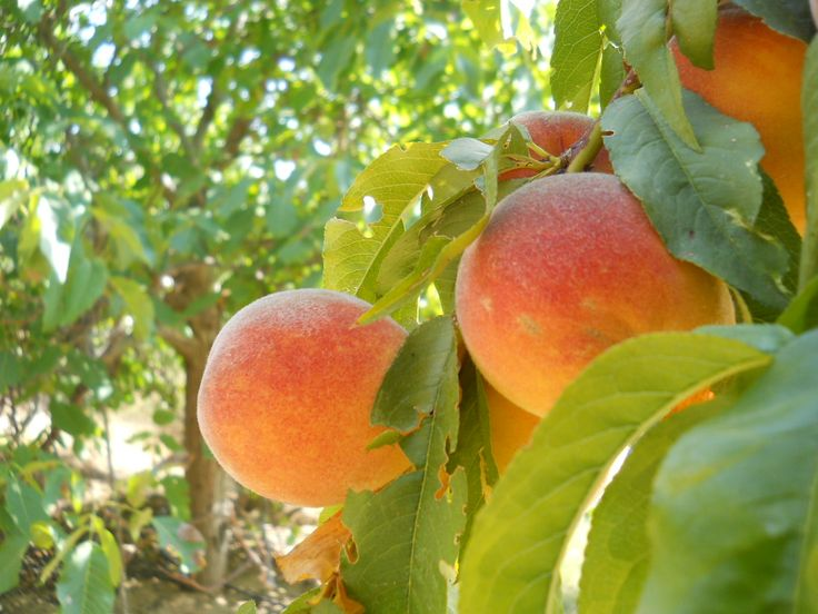 Just Peachy! Farmers' Market Recipes for Fresh Peach Dishes - Around Town - Napa Valley, California | Patch