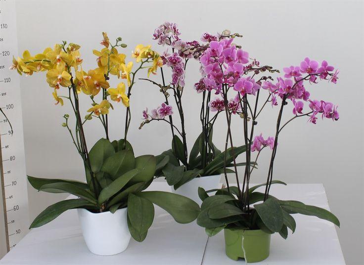 Flor_pagano_piante_fiorite_orchidee_phalaenopsis_mini_vaso_17_17012014163017.jpg